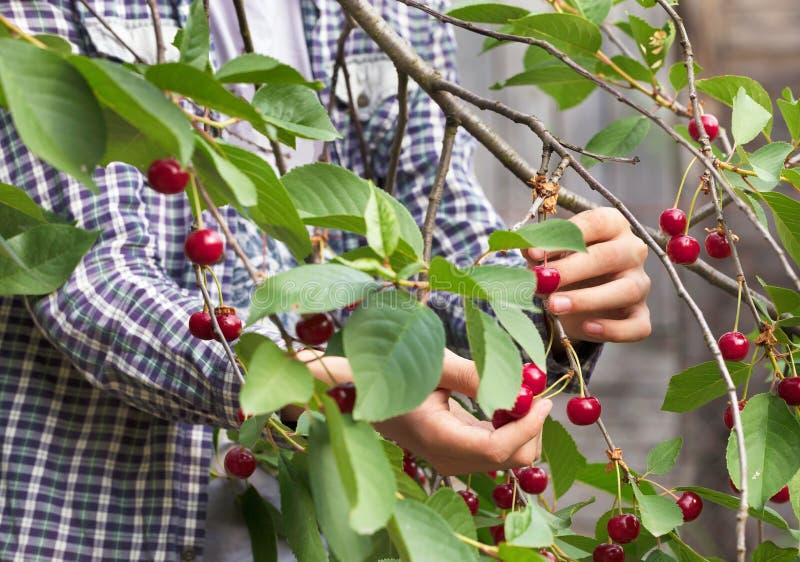 Młody rolnik zbiera czerwonej dojrzałej wiśni fotografia royalty free