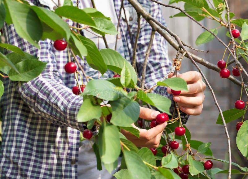 Młody rolnik zbiera czerwonej dojrzałej wiśni obrazy stock