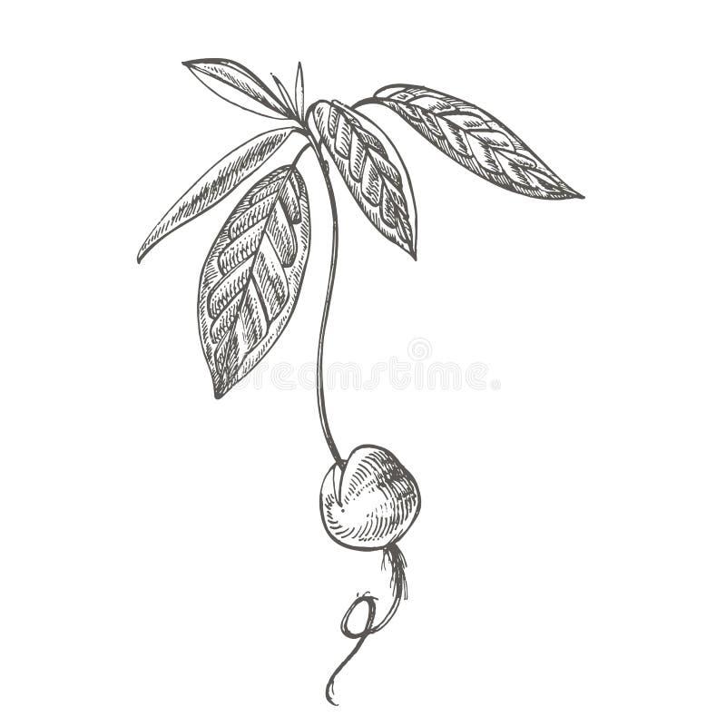Młody rozsadowy Avocado Wektorowa ręka rysować ilustracje Tropikalna owoc grawerująca lato stylowa ilustracja royalty ilustracja