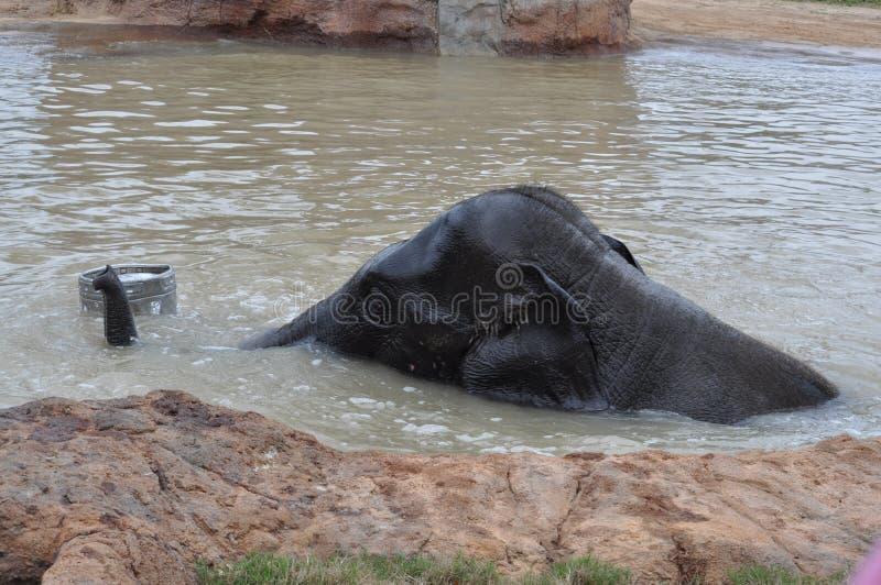 Młody słoń obraz royalty free