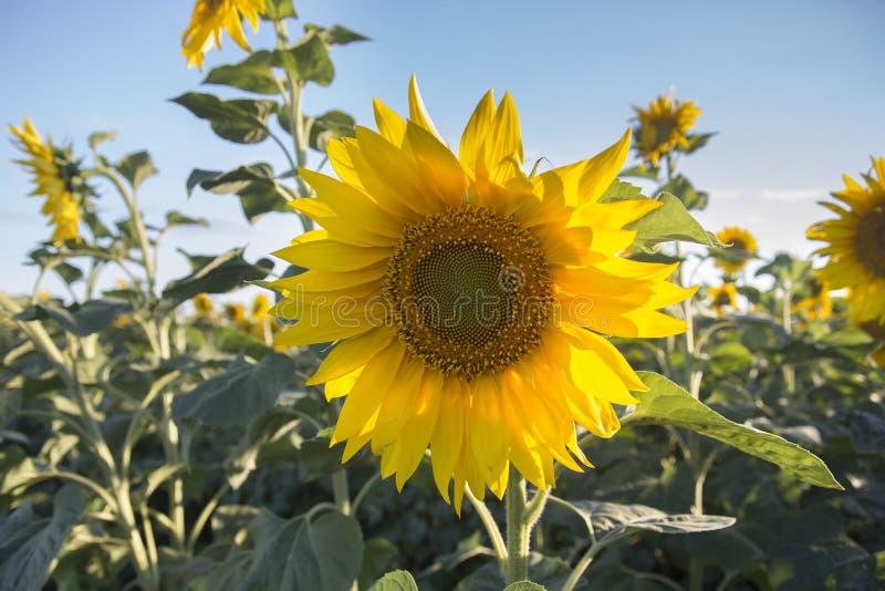 Młody słonecznik w polu zdjęcia stock