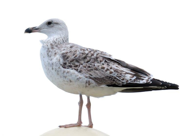 Młody seagull na bielu fotografia stock