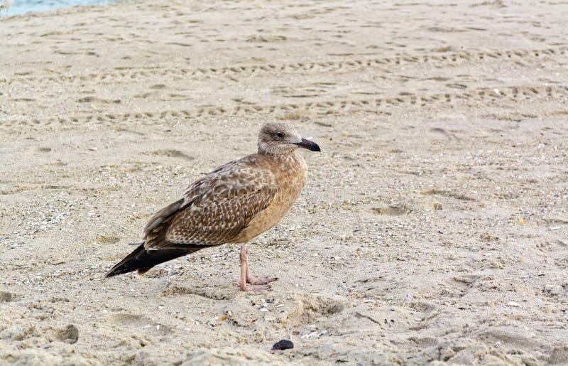 Młody seagull na plaży obrazy stock