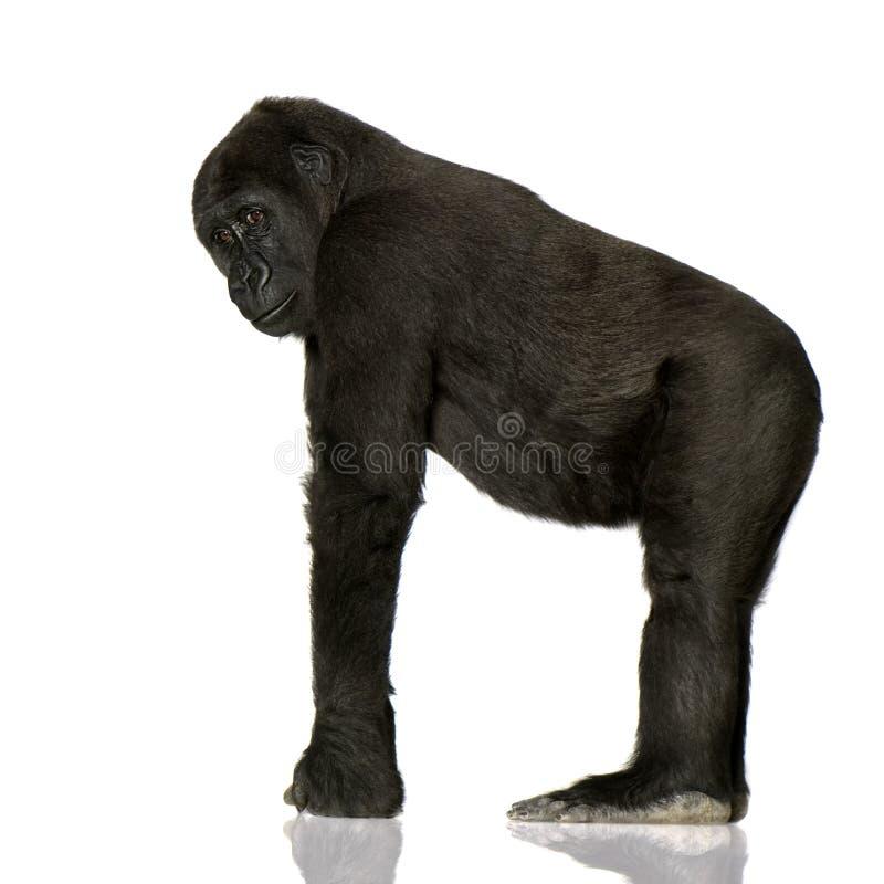 młody silverback goryla zdjęcie royalty free