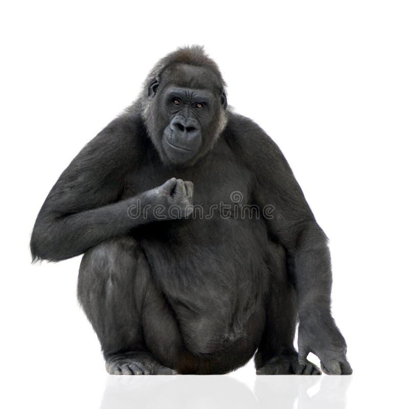 młody silverback goryla fotografia stock