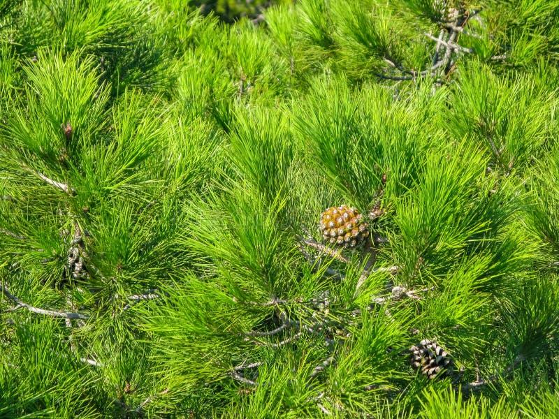 Młody sosna rożek na tle zielone sosnowe igły zdjęcia royalty free