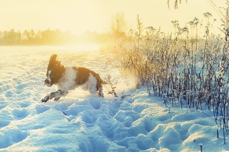 Młody springera spaniel biega na śnieżnym polu obrazy royalty free