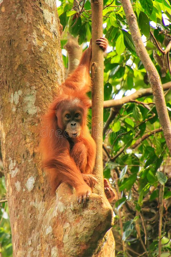 Młody Sumatran orangutan obsiadanie na drzewach w Gunung Leuser Natio fotografia royalty free