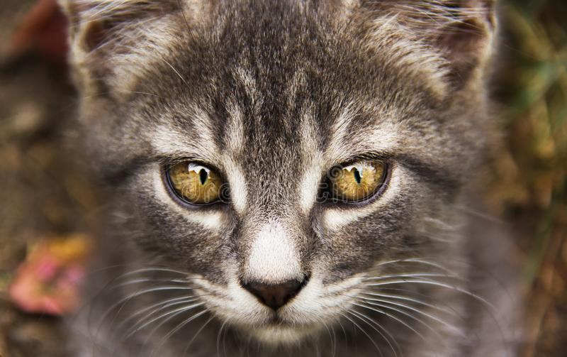 Młody szary kot z pięknymi oczami kot przygląda się szarego kolor żółty Kota ` s oczy zdjęcie royalty free