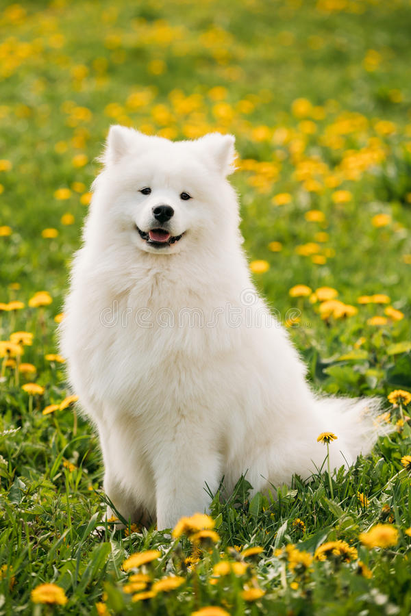 Młody Szczęśliwy Uśmiechnięty Biały Samoyed pies Lub Bjelkier, Smiley, Sammy fotografia royalty free