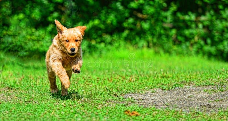 Młody szczeniaka bieg w kierunku kamery w trawie HDR obrazy royalty free