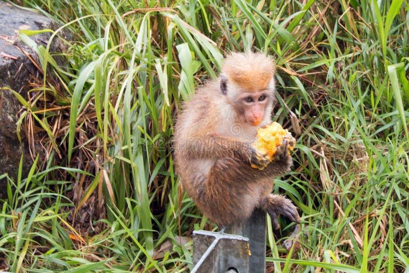 Młody Toque makaka małpy karmienie na mango przy poboczem w z prowincji Sri Lanka fotografia stock