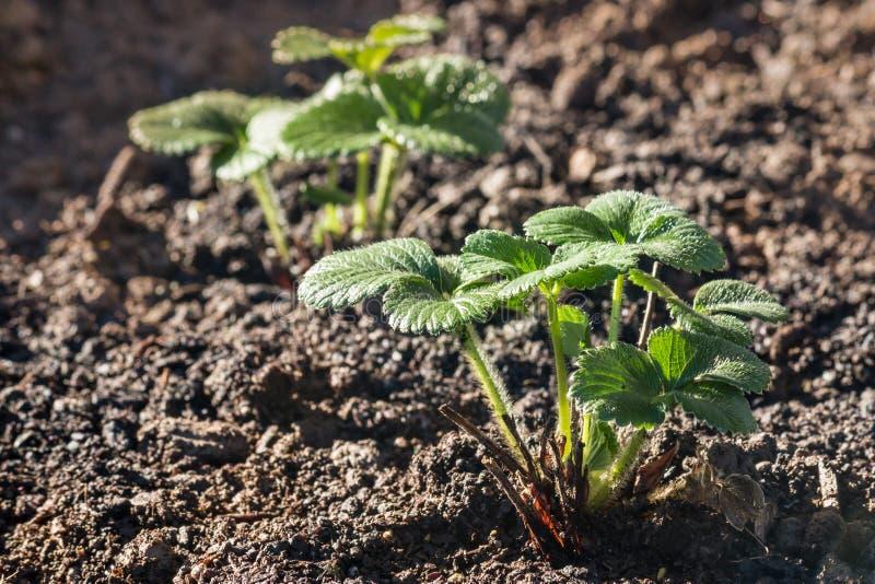 Młody truskawkowy sadzonkowy dorośnięcie w organicznie ogródzie zdjęcia stock
