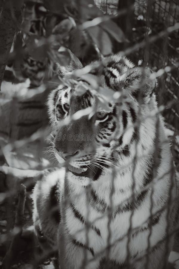 Młody tygrys jest w metal klatce obrazy stock