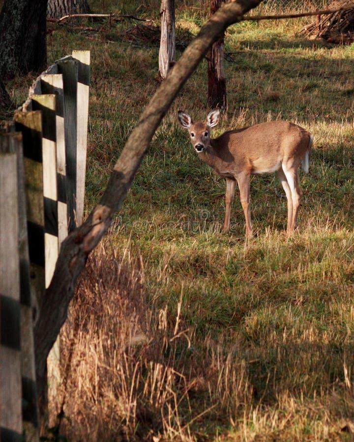 Młody Whitetail Podczas kotelnia sezonu zdjęcia stock