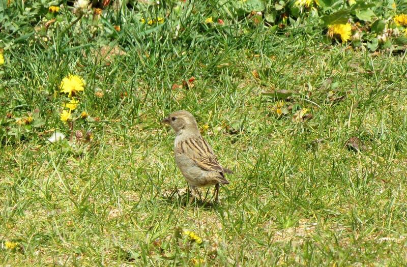 Młody wróbli ptak na zielonej trawie, Lithuania obraz royalty free