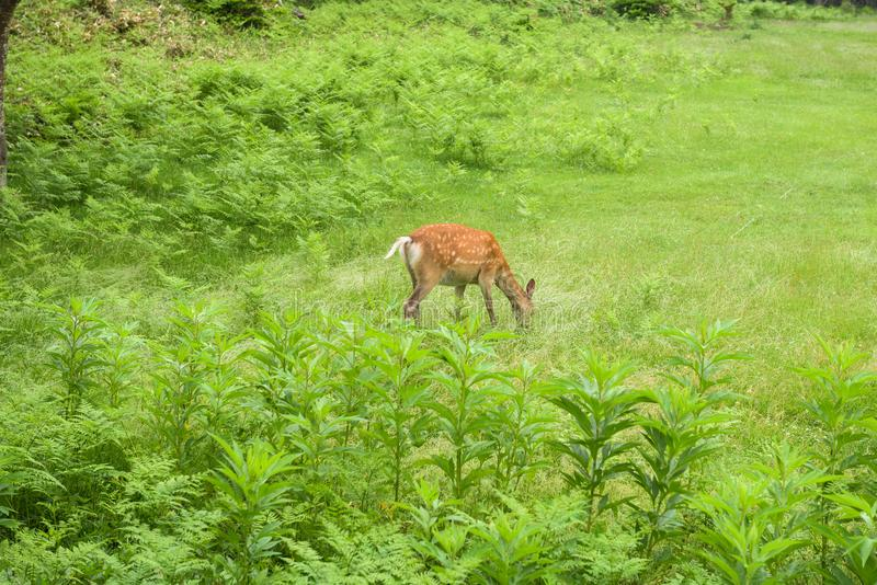 Młody Yezo Sika Jeleni odprowadzenie przez poly Shiretoko park narodowy i lasu fotografia stock
