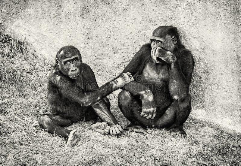 Młody Zachodniej niziny goryl - matka z lisiątkiem zdjęcie stock