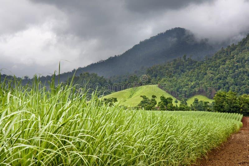 Młody zdrowy trzciny cukrowa dorośnięcie zdjęcie royalty free