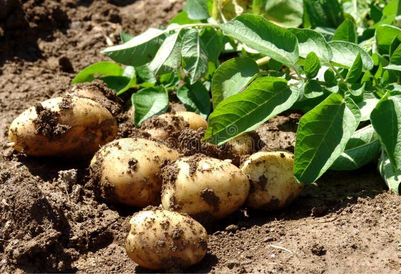 młody ziemniaka zdjęcia stock