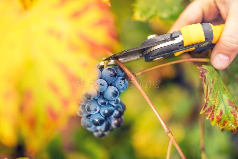 Młodzi średniorolni zbieraccy dojrzali winogrona na jesieni żniwie od dolinnej wytwórnii win zdjęcia royalty free