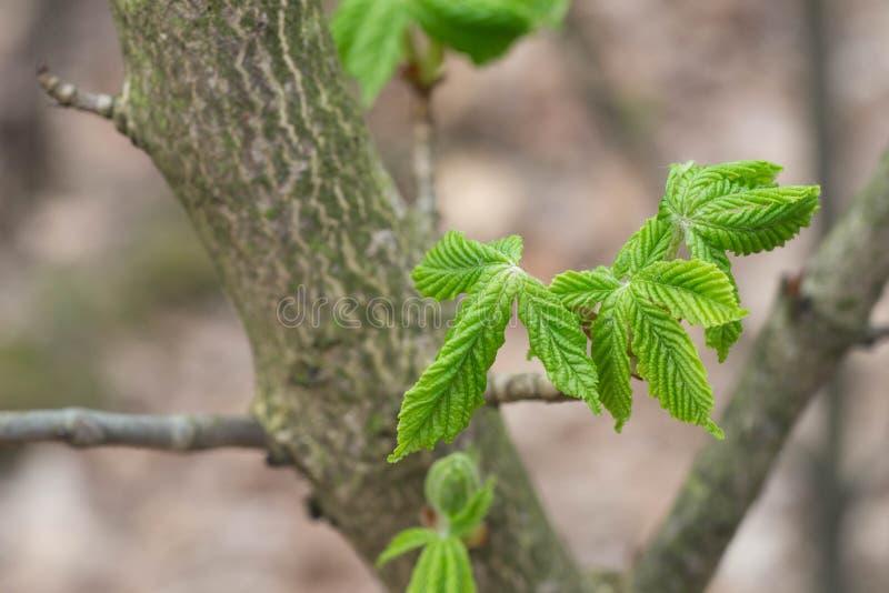 Młodzi świezi kasztanów liście na gałązce makro- obraz royalty free