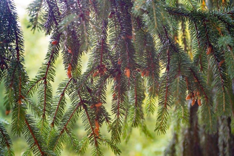 Młodzi brown rożki r na gałąź świerczyna Żywy natura zdjęcie stock
