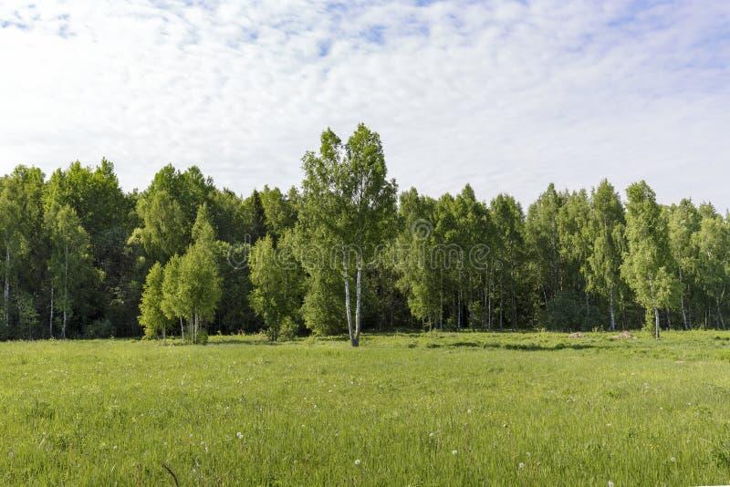 Młodzi brzoz drzewa na łące przy krawędzią lasu jasnego Pogodny ranek fotografia stock