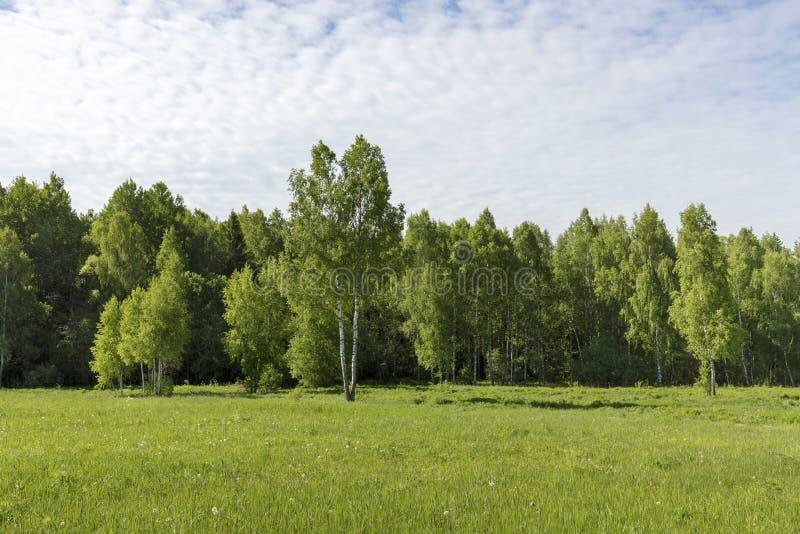 Młodzi brzoz drzewa na łące przy krawędzią lasu jasnego Pogodny ranek obraz stock