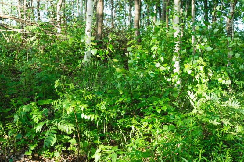 Młodzi brzoz drzewa na lasowej haliźnie jaskrawy zaświecali położenia słońcem zdjęcia stock