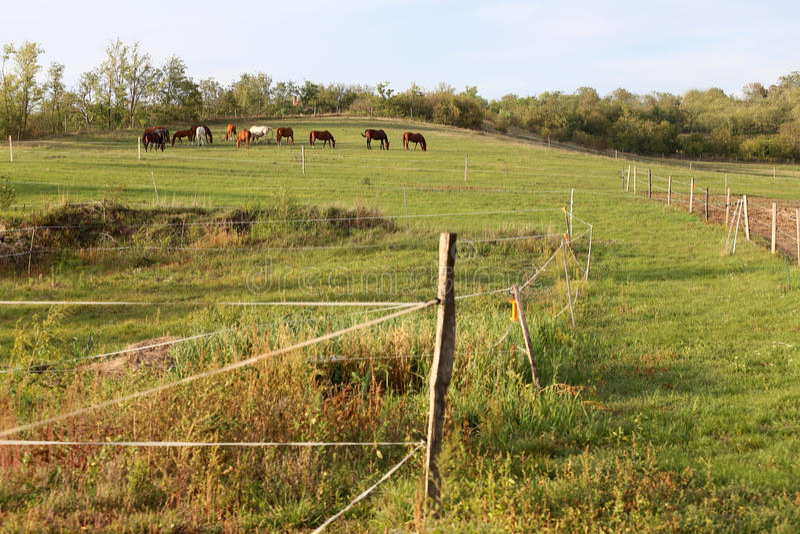 Młodzi cisawi klacze i źrebięta je świeżej zielonej trawy na paśniku zdjęcie royalty free