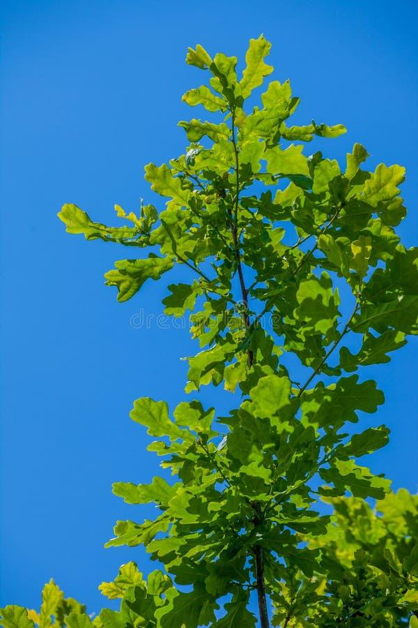 Młodzi dębów liście przeciw niebu fotografia stock