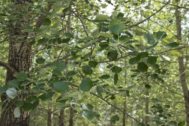 Młodzi dębów liście w słońcu fotografia royalty free