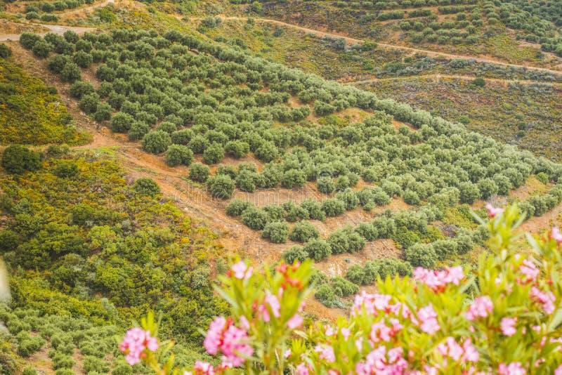 Młodzi drzewa oliwne w plantaci, Grecja zdjęcie royalty free