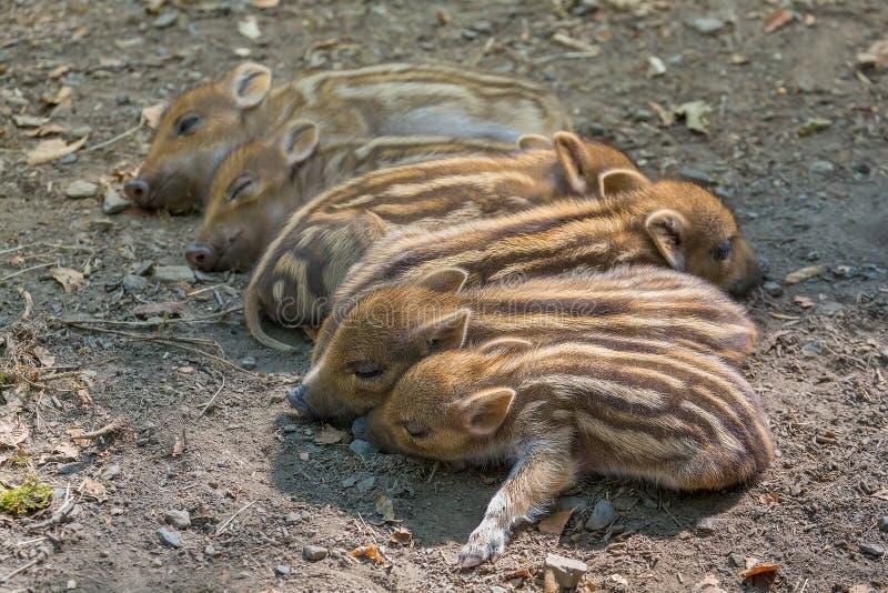 Młodzi dzicy knury śpią z rzędu fotografia royalty free