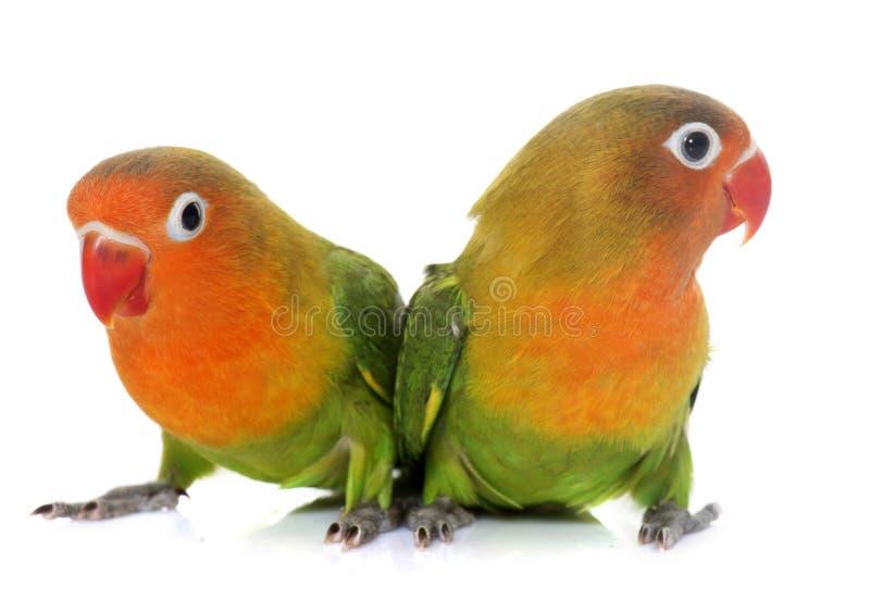 Młodzi fischeri lovebirds fotografia royalty free