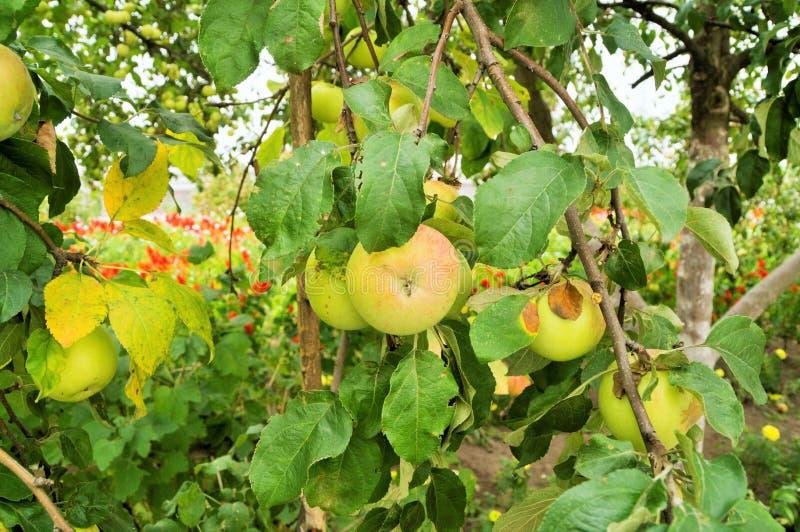 Młodzi jabłka na gałąź obraz stock