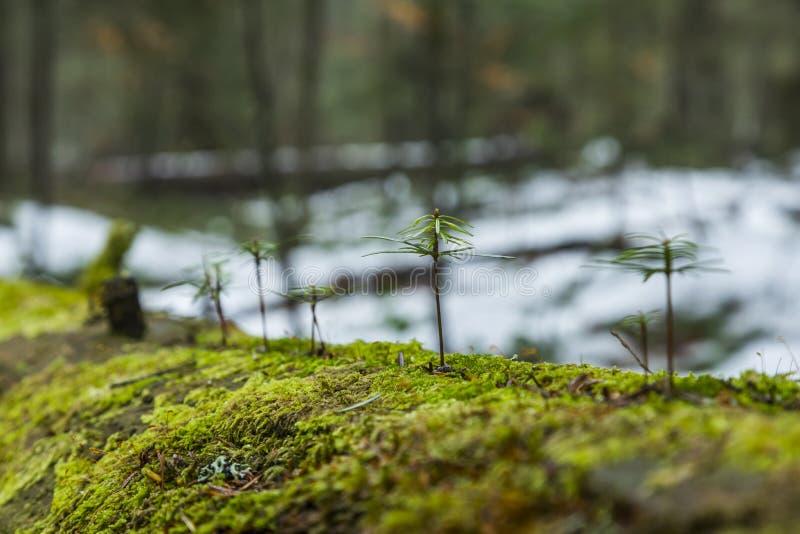 Młodzi jedlinowi drzewa obrazy royalty free