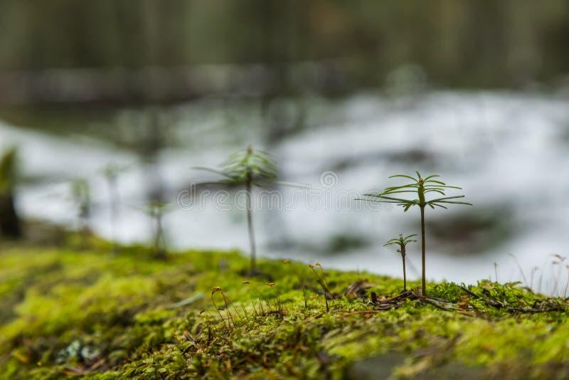 Młodzi jedlinowi drzewa zdjęcia stock