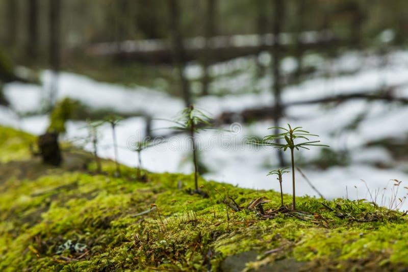 Młodzi jedlinowi drzewa obraz royalty free