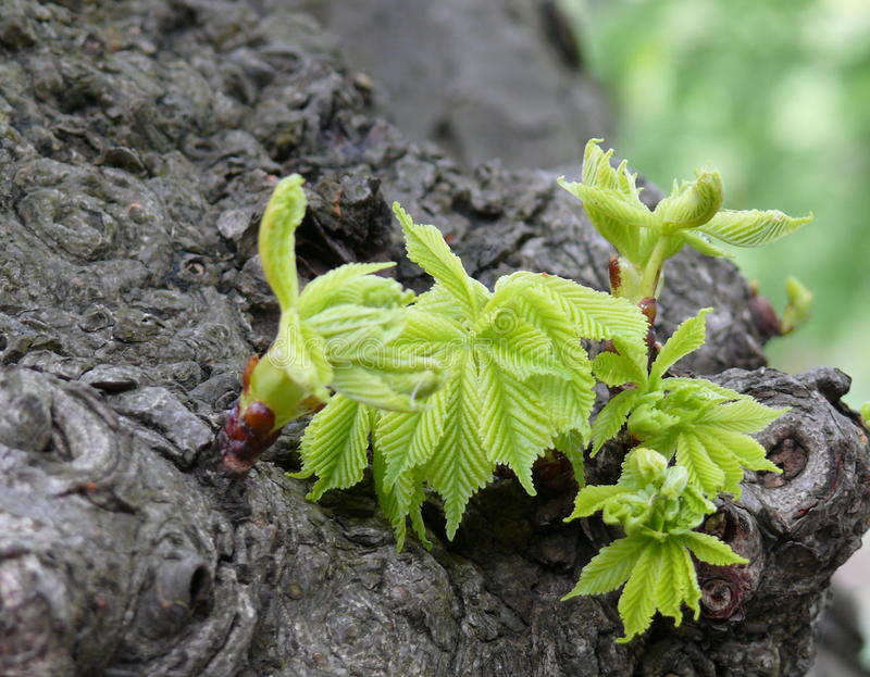 Młodzi kasztanów liście obraz stock