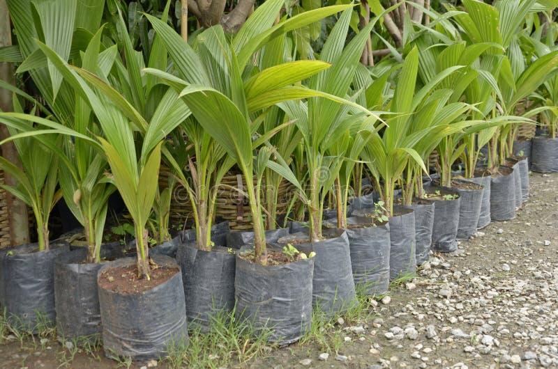 Młodzi kokosowi drzewa zdjęcia royalty free