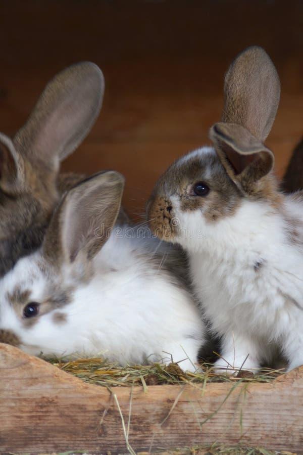 Młodzi króliki w hutch fotografia royalty free