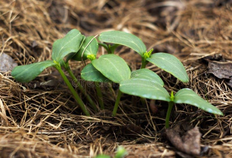 Młodzi krótkopędy ogórek zdjęcie royalty free