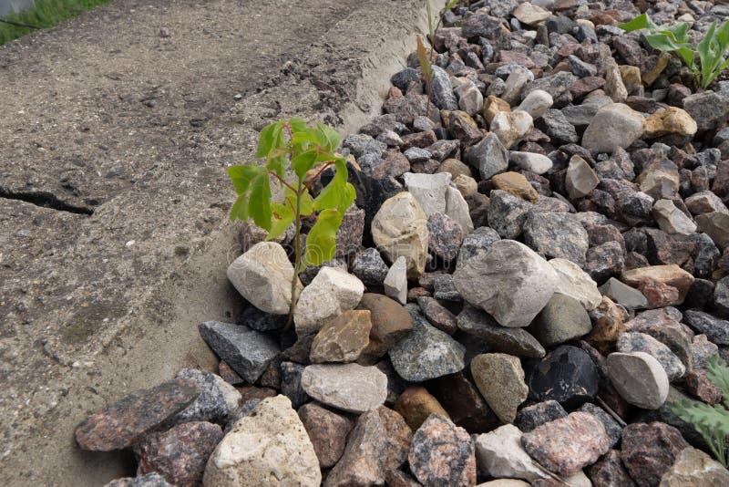 Młodzi krótkopędy rośliny kiełkują przez kamieni obraz royalty free