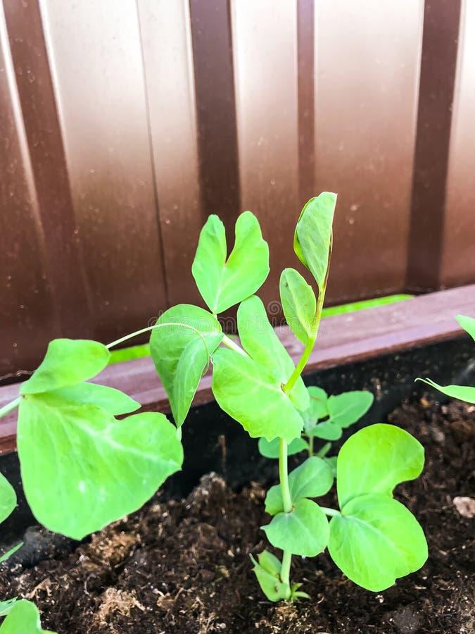 Młodzi krótkopędy zieleni grochy obraz stock