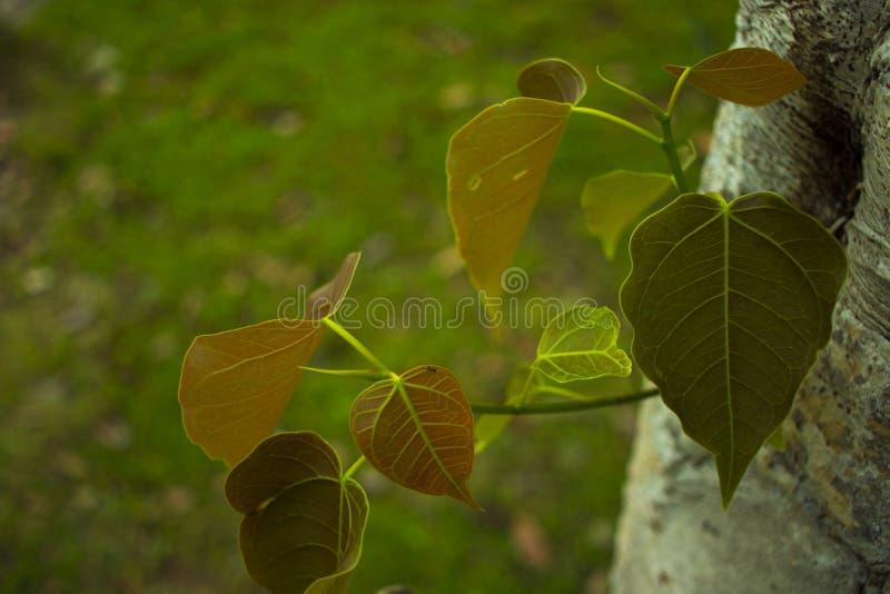M?odzi li?cie ?wi?tej figi drzewa Genus Ficus zdjęcie stock