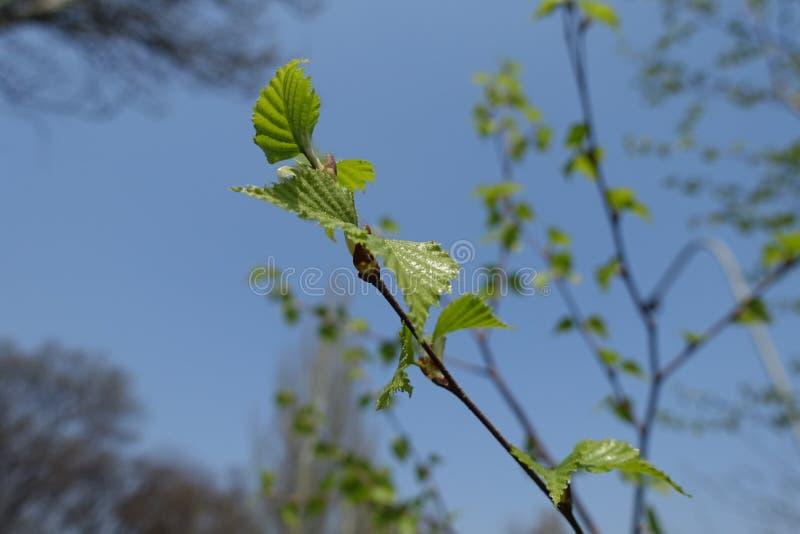 Młodzi liście brzoza przeciw niebieskiemu niebu fotografia royalty free