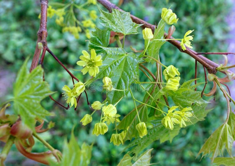 Młodzi liście klonowi i kolor żółty kwitną w wiośnie Kwitnący klonowy drzewo zdjęcie stock