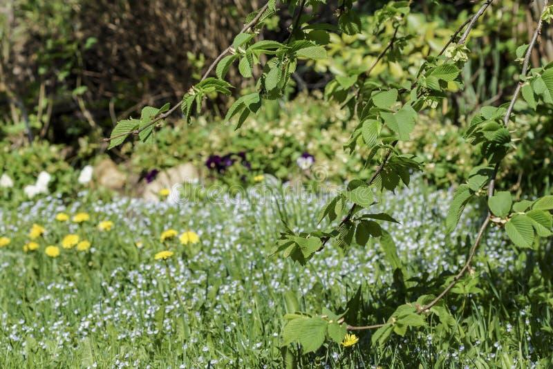Młodzi liście wiąz, gałąź słoneczny drzewo z młodymi liśćmi przeciw tłu zamazany ogród w wiośnie obrazy royalty free